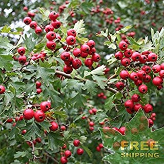 English ONESEED Hawthorn Crataegus Monogyna - 10 Seeds
