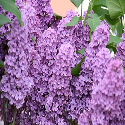 LILAC FRAGRANCE OIL - 8 OZ - FOR CANDLE & SOAP MAKING BY VIRGINIA CANDLE SUPPLY - FREE S&H IN USA