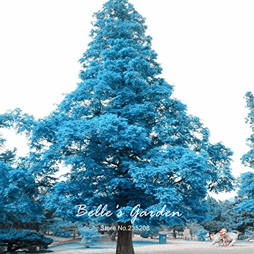 Variété mixte Bonsai Jardinerie Ornement créatif plante Bonsaï Graines jardin Plante en pot bricolage 20pcs Blue Tree Pine