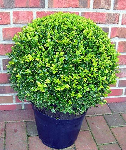 2 Stück Buchsbaum Kugel, Buxus sempervirens, Durchmesser: 35-40 cm + Dünger
