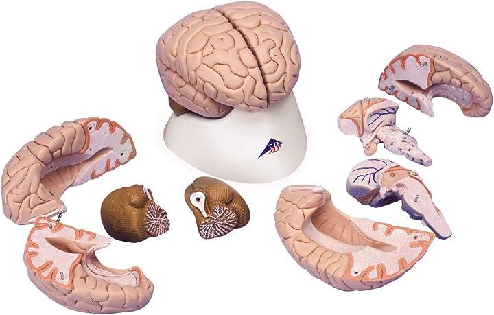 Modello anatomia del cervello 3b scientific gmbh C17
