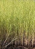 fertig im Pflanzkorb - Phragmites australis - Schilf - Repositionspflanze - Wasserpflanzen Wolff