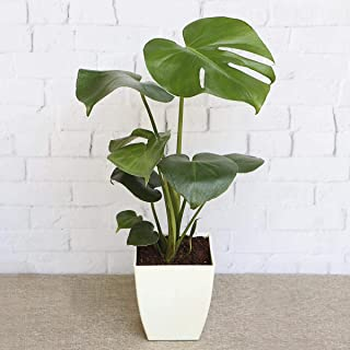 Ugaoo Monstera Deliciosa Live Indoor Plant With Pot