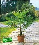 BALDUR Garten Winterharte Kübel-Palmen 1 Pflanze, Chinesische Hanfpalme Freilandpalme Gartenpalme,Trachycarpus fortunei frosthart