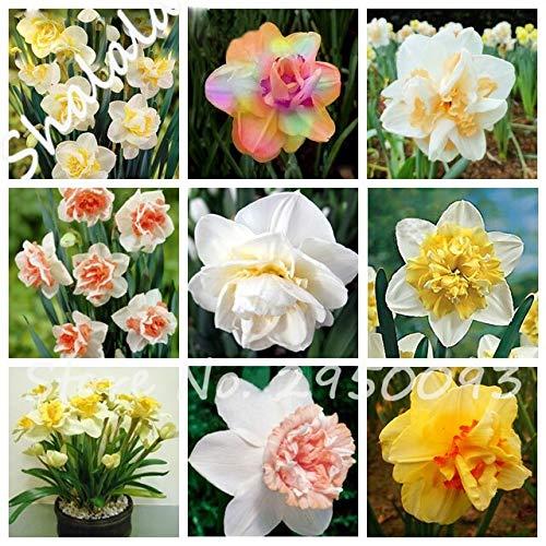 Gemischt: Ziemlich Narzissen Blume Balkon Pflanzen Narzissen Samen Absorption Strahlung Narzissen Samen 120 Stücke Die Angehende Rate 95%