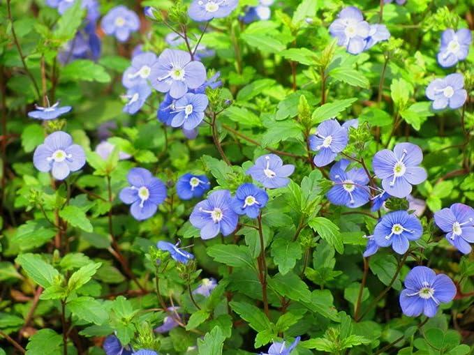 50S-e-e-ds Veronica Creeping Blue Speedwell S-e-e-ds