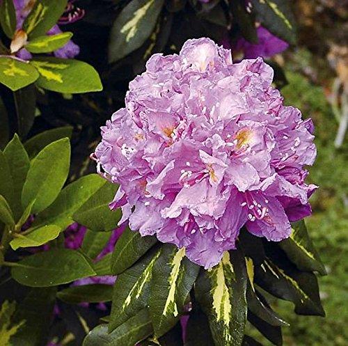 Großblumige Rhododendron Goldflimmer 25-30cm - Alpenrose