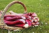 Semillas de ruibarbo Lider - Rheum rhaponticum