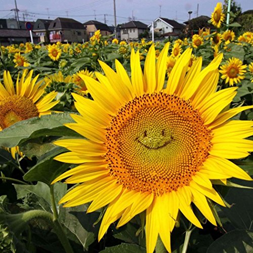 Qulista Samenhaus - 15pcs Selten Sonnenblume Evening Sun Helianthus Sonnenblumensaat Blumensamen als Schnittblumen mehrjährig winterhart für Vögel