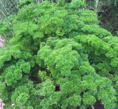 SEED, Persil MOSS recourbés, HEIRLOOM, BIO, NON OGM, 500 graines, GRAINES DE PERSIL