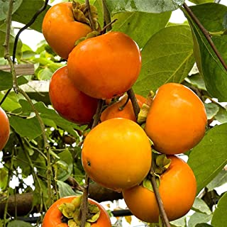 果樹!柿の苗木 品種:富有(ふゆう)【品種で選べる果樹苗木 2年生 接木苗 12cmロングポット 平均樹高:50cm/1個】(ポット植えなのでほぼ年中植付け可能)国内で一番生産量が多い品種で、食感・甘さから甘柿の王様とも呼ばれています。 果肉は...