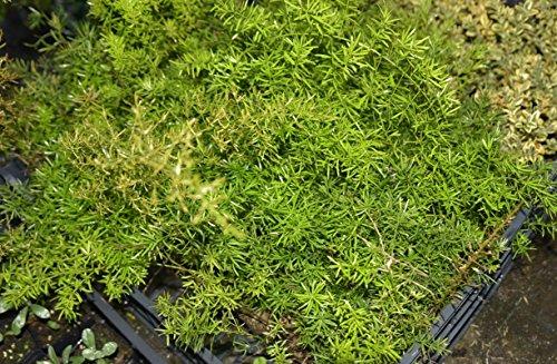 Asparago Asparagus Sprengeri Pianta in vaso di Asparago Asparagus Sprengeri - 10 Piante in vaso 7x7