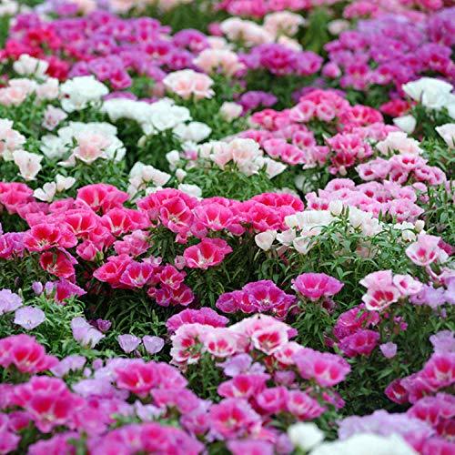 Eastbride mehrjährig winterhart Samen,Uralte seltene Samen, Nicht Frühling Blumensamen Balkon Gartenblumensamen-200 Kapseln,Samen für Ihr Garten Balkon