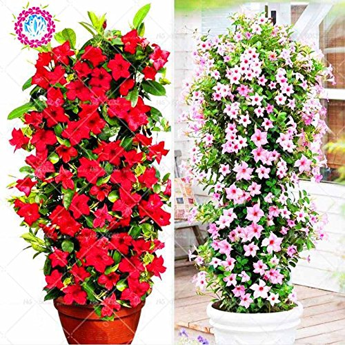 100pcs/bag Mandevilla sanderi -Dipladenia sanderi Samen, Bonsais-Blumen-Anlage für Hausgarten-Pflanzen, einfach 5 wachsen