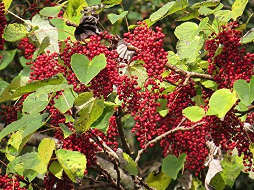Orangenkirsche Idesia polycarpa Pflanze 45-50cm Wunderbaum Igiri Tree Rarität