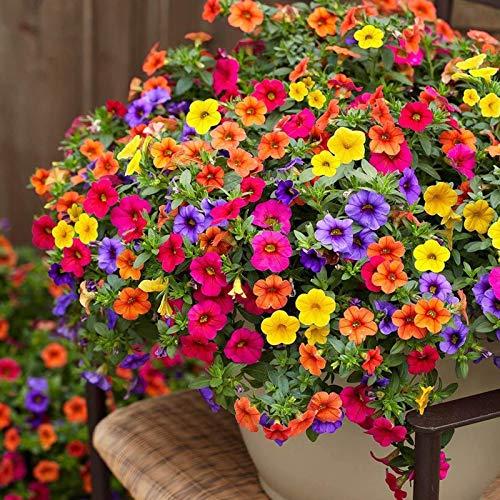 100 Pcs Seeds Mixed Petunia Flower Seeds   Non-GMO   Rare Seeds for Planting Home Garden, Seeds,...