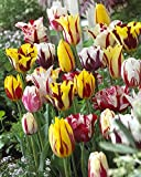 Rembrandt Tulip Mixture- 30 Perennial Tulip Bulbs
