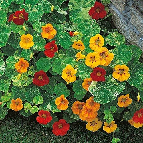 Pinkdose® Pinkdose Blumensamen: Kapuzinerkresse Kühl Saison Jährliche Blumen Pflanzensamen Für Alle Saison Kletterpflanze Samen-Hedge Garten (3 Pakete) Gartenpflanze