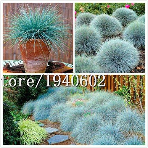 Big vendre 50 Blue Seeds fétuque - (Festuca glauca) vivace herbe ornementale si facile à cultiver