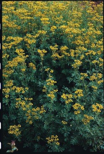 Just Seed Herb - Rue - Ruta graveolens - 200 Seeds