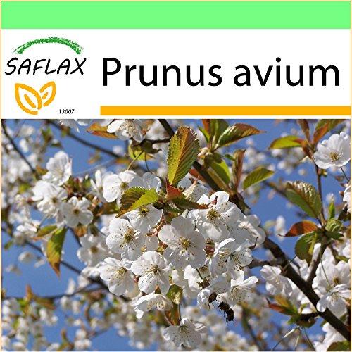SAFLAX - Jardin dans la boîte - Cerisier des oiseaux - 10 graines - Prunus avium