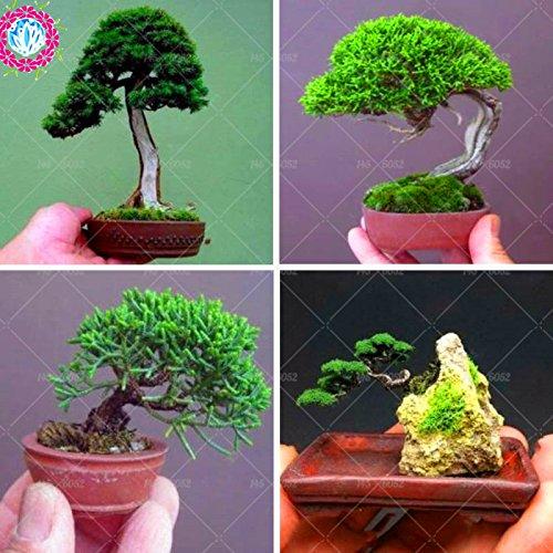 50 pcs graines de pin miniature, mini graines d'arbres de bonsaïs, plantes ligneuses intérieur, plante vivace arbre de pin de jardin miniature en pot