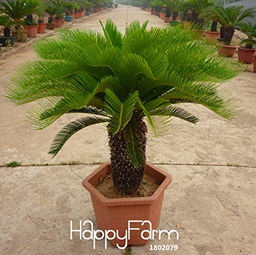 SVI Hot Vente. Cycas Plantes en Pot de Fleurs pour DIY Home Garden Articles ménagers 10 pcs/lot Cycas Graines, 3vayj4