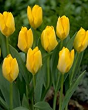 Best quality tulip bulbs Reviews