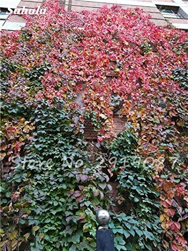 50 Pcs mixte Boston Seeds 100% vrai Parthenocissus tricuspidata semences de plantes en plein air QUASIMENT soins décoratifs Escalade de plantes 9
