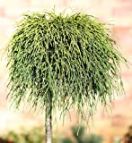 Hochstamm Gelbe Fadenzypresse Sungold 40-60cm - Chamaecyparis pisifera