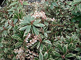 Little Heath Lily of The Valley Shrub -Pieris Japonica- Andromeda - 2.5