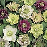 YouGarden Hardy Hellebore Double Flowered, 6-Plants, 9 cm Pot