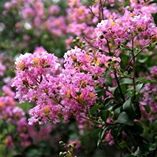 20 Pcs Lagerstroemia Seed Speciosa Brilliant Pink Blooms Crape Myrtle Small Tropical Tree Shrub Seeds Gardening Bonsai