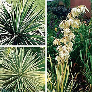 Best yucca root plant for sale Reviews