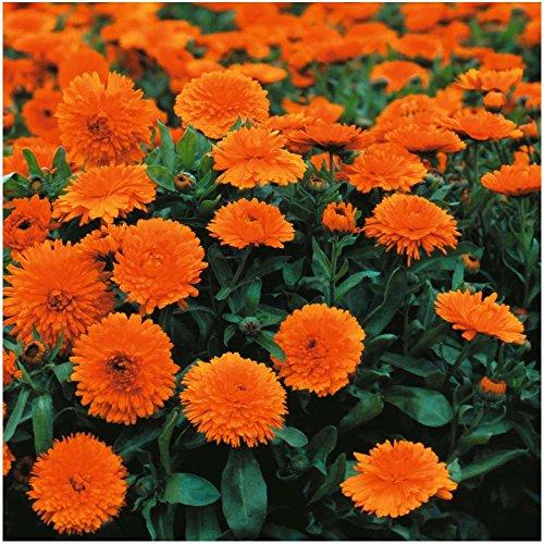 Lot de 50 graines de Souci Double de jardin nain Orange Gitana - annuelles