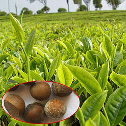 Imixlot 5 pièces / Lot chinois thé vert arbre Graines Bonsai plante bricolage thé pour arbre sain Bonsai thé jardin Livraison gratuite
