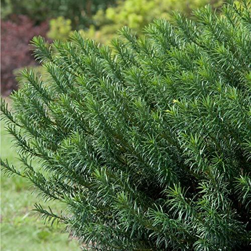 2 Gallon - Yewtopia Plum Yew, Shade Loving Compact...