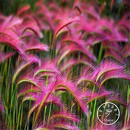 Beförderung! 100 Stück / Packung Mähnengerste Ziergräser Samen (Hordeum jubatum), Seltene Garten Blumensamen