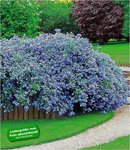 BALDUR-Garten Immergrün Ceanothus Säckelblume Blue Fashion, 3 Pflanzen Kalifornischer Flieder winterhart