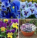 100+ Mixed Viola Pansy Mars Helen Seeds Blue Flower Perennial Garden