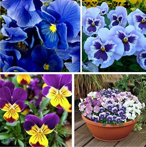 100+混合的中提琴蝴蝶花火星海伦籽蓝色花多年生花园