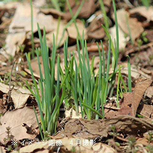 【紫桜館山の花屋】山菜苗:アサツキ 9cmポット仮植え苗2ポットセット