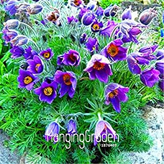 100 Pieces/Pack Genuine!Violet Pasque Flower Seeds Rare Color Amazing Beautiful DIY Home Garden Flower Seeds