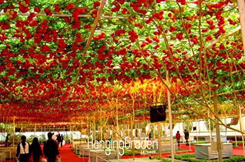 Time-Limit !! Graines de voyage L récolte »50 graines / Lot ITALIEN TREE TOMATE Seeds * Comb S / H Livraison gratuite, # I7NUN1