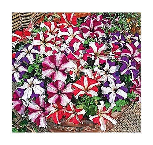 Petunie Multiflora Star - Hängepetunie - Petunia - 100 Samen