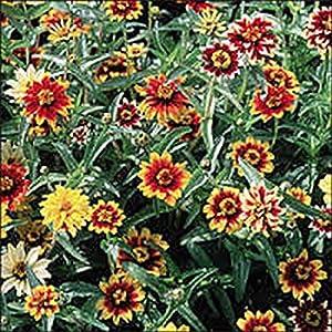 Zinnia- Haageana- Persian Carpet Mix- 100 Seeds