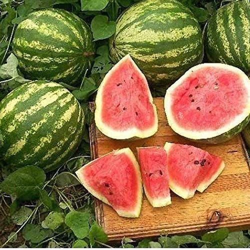 """Wassermelone""""Crimson Sweet"""" 10/20/50 x Samen aus Portugal in Bioqualität superfruchtig (20 x Samen)"""