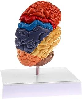 الإنسان اليسار التشريحية هيكل الدماغ علم الأمراض نموذج الدماغ تشريح الهيكل العظمي أدوات التدريس الجمجمة الطبية