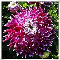 ダリア球根*多年生のダリア球根,家の植栽,花壇,花のパスや前庭に適しダリア,奇妙な色で,速く成長する,魅力的な、-紫の,10 球根