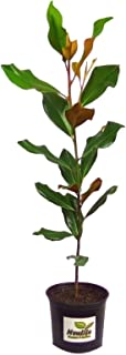 New Life Nursery & Garden- - Brackens Brown Beauty- - Southern Magnolia Tree
